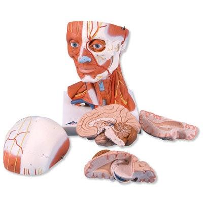 Hoved og nakkemuskulatur, 5 dele