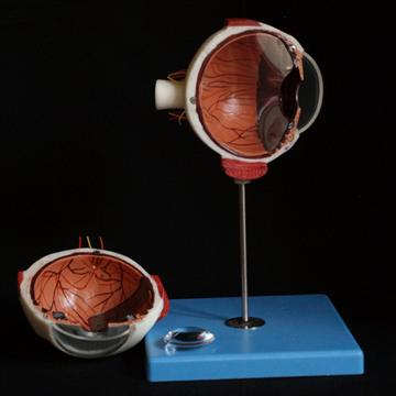 Øjemodel 6 x normal størrelse 3 dele med udtagelig funktionel linse