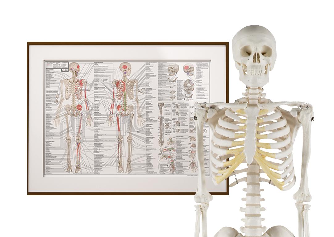 Studiepakke - 85 cm skelet og den ultimative anatomiplakat EA1