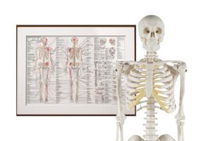 Studiepakke - miniskelet og den ultimative anatomiplakat