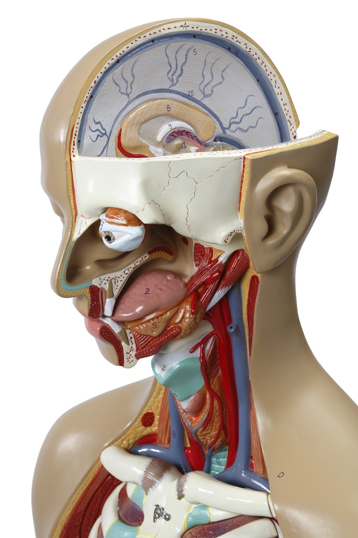 Meget detaljeret torso med 16 udtagelige dele, åben ryg og kønsløs
