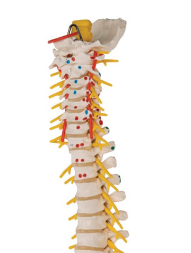 3B rygsøjle med femur hoveder og muskulaturangivelser