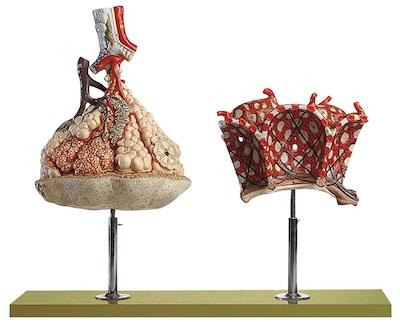 SOMSO Model af lobule af lungen med model af lungealveoler