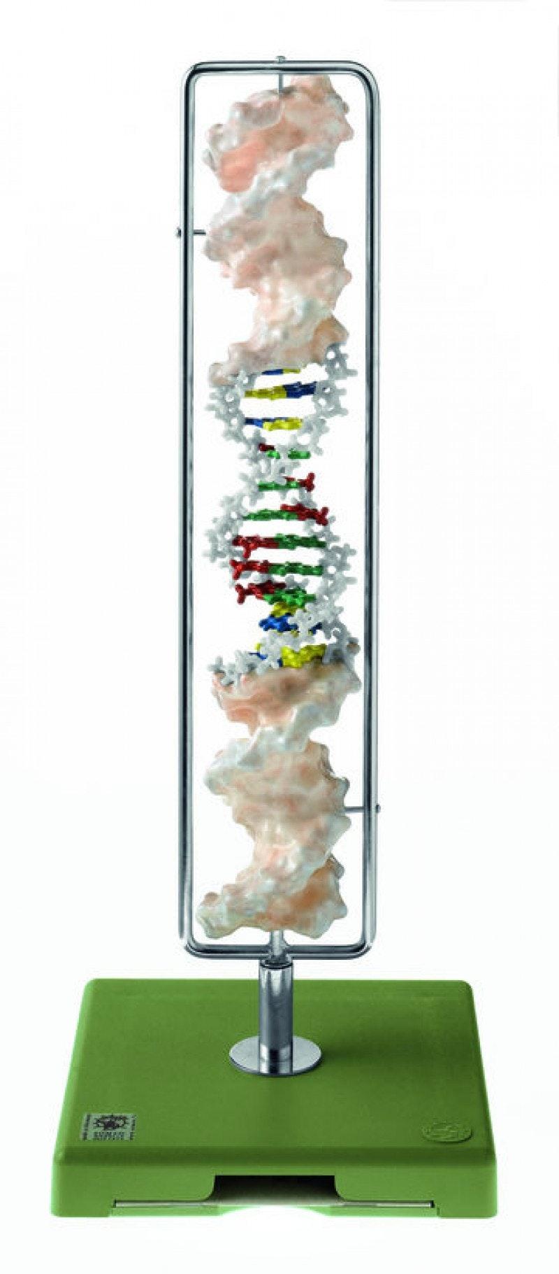 Eksklusiv og komplet model af DNA præsenteret på en roterende stander