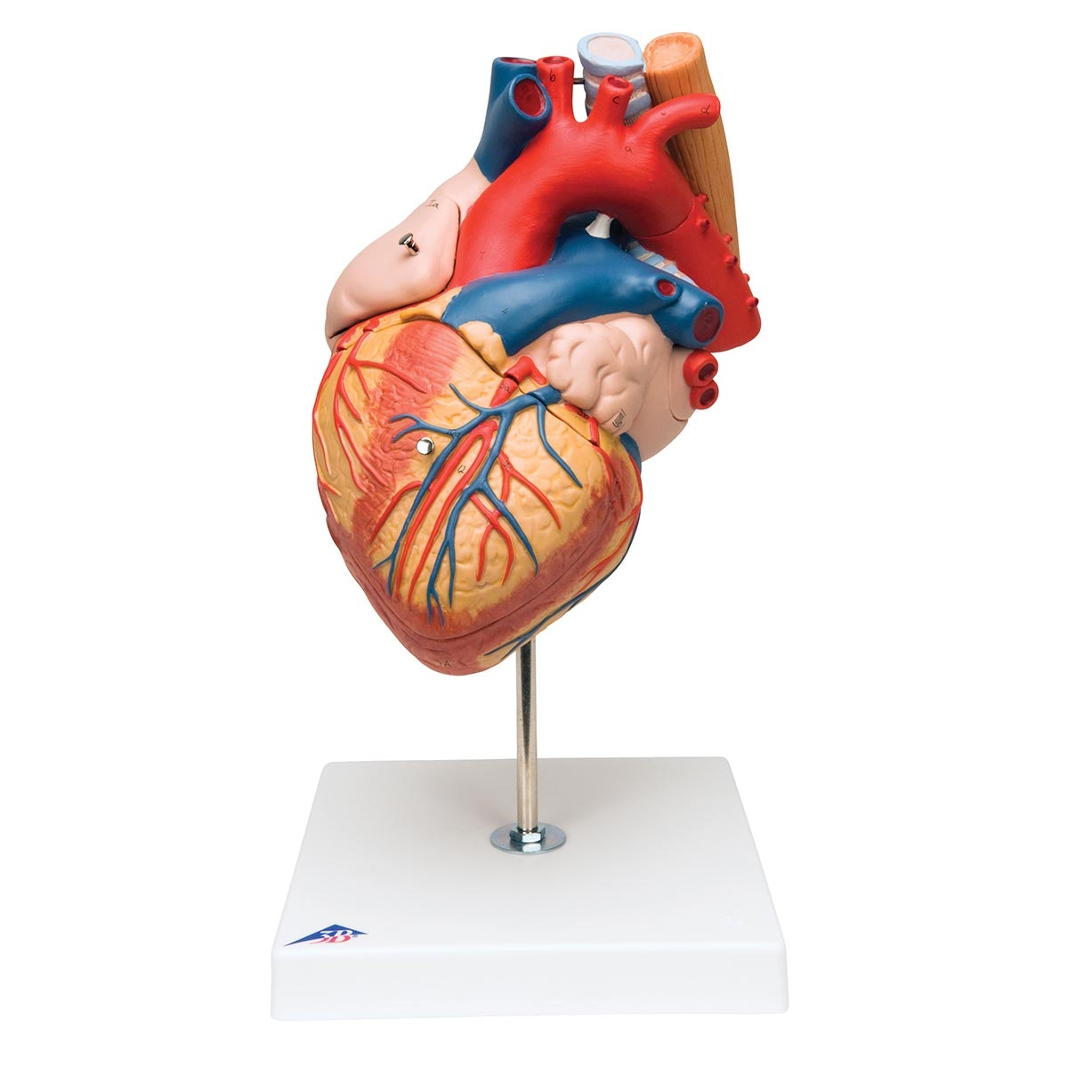 FORSTØRRET og håndmalet hjertemodel med luftrør og spiserør