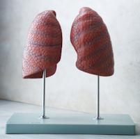 Model af begge lunger præsenteret fritstående på en stander