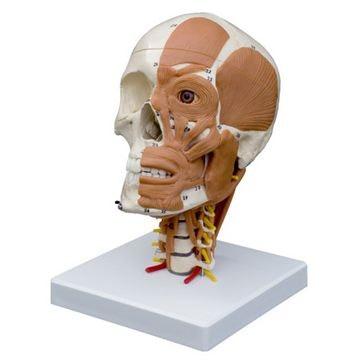 Rüdiger kranie med ansigts- og halsmuskulatur, halshvirvler