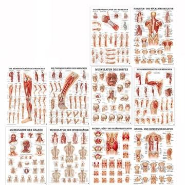 Lamineret plakatsamling med alle kroppens muskler på latin (men tyske overskrifter)