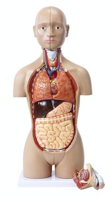 Meget detaljeret mini torso med 15 udtagelige dele og kønsorganer fra mand og kvinde