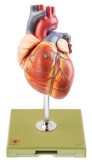 SOMSO hjertemodel i dobbelt størrelse