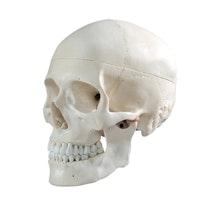Klassisk kraniemodell i vuxen storlek
