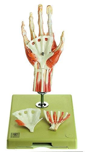 Avanceret og yderst detaljeret håndmodel - kan adskilles i 6 dele
