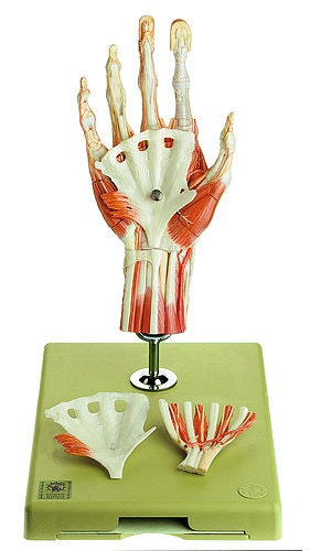 SOMSO Kirurgisk håndmodel i 6 dele