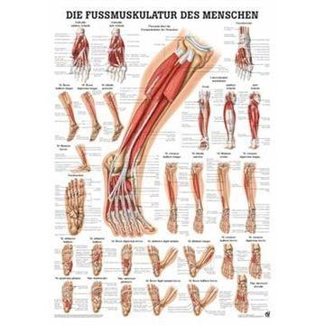 Lamineret muskelplakat om musklerne i underbenet og foden på latin & tysk