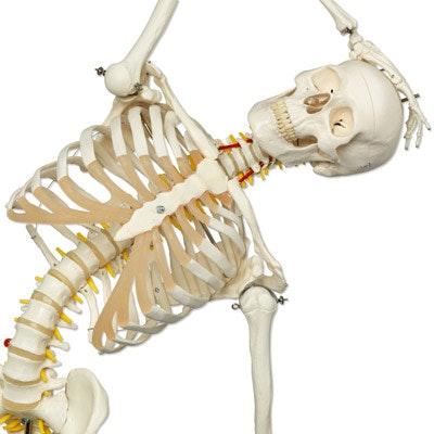 3B fleksibel skeletmodel naturlig størrelse