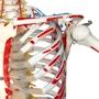 Skeletmodel med bevægelig rygsøjle, ledbånd, spinalnerver, a. vertebralis og en diskusprolaps