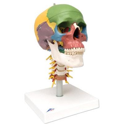 Didaktisk kranie på halshvirvler, 4 dele