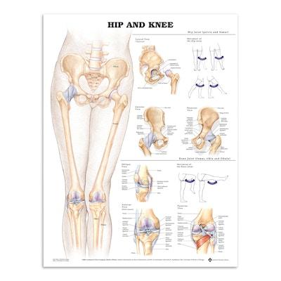 Plakat om hoften & knæet på engelsk