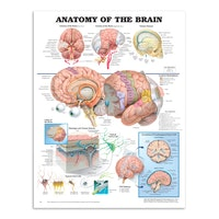 Hjernens anatomi laminert plakat engelsk (Anatomy of the brain)