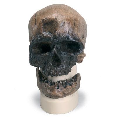 Antropologisk kranie - Crô-Magnon