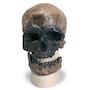 Antropologisk kranie af et Cro-Magnonmenneske