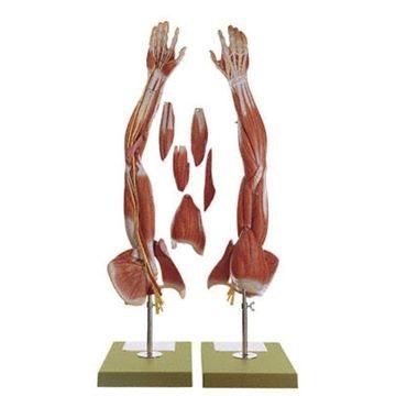 SOMSO Armmuskelmodel med stykke af skulder