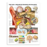 Anatomisk plakat om ørets anatomi, hørelsen og balancefunktionen på engelsk