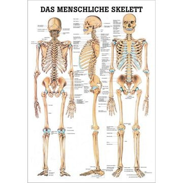 Skeletplakat papir til indramning tysk latin