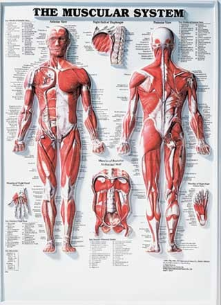 Muskelplakat 3D relief (muscular system 3D raised relief)