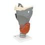 Model af strubehovedet med bevægelige tudbruske og epiglottis
