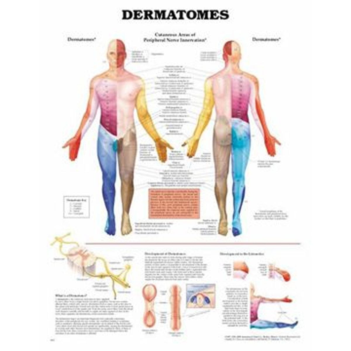 Plakat om dermatomer på engelsk