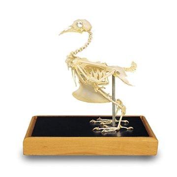 Dove skeleton (Columba palumbus)