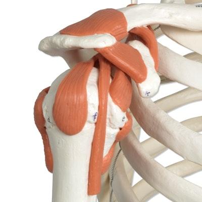 3B skeletmodel med ledbånd