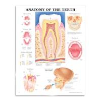 Tennenes anatomi laminert plakat engelsk