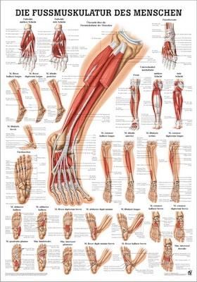 Laminerad plansch med underbenets och fotens muskler tyska & latin