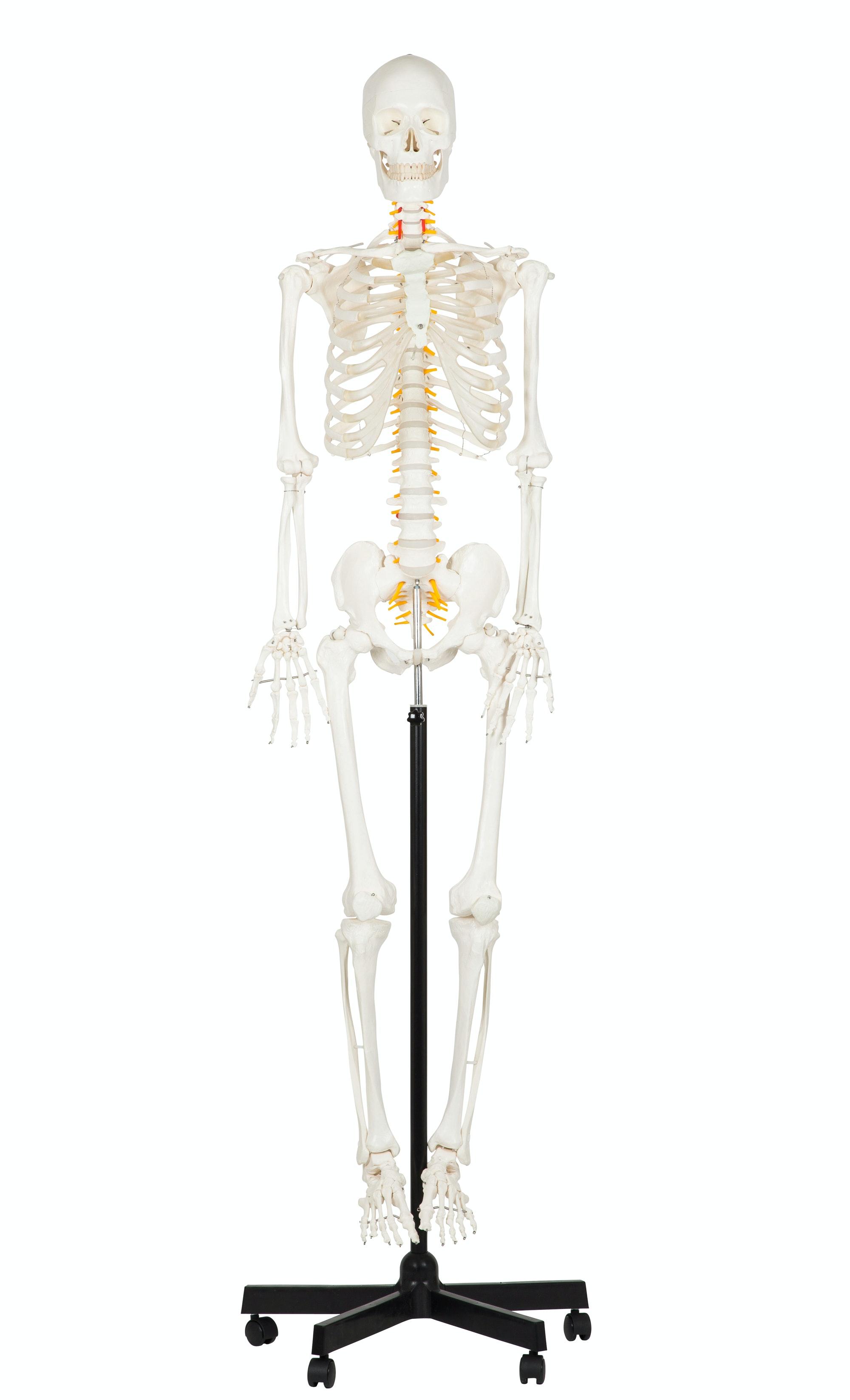 Studiepakke - Stort skelet og den ultimative anatomiplakat EA1