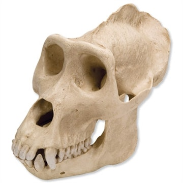 Gorillakranie (Gorilla gorilla), male