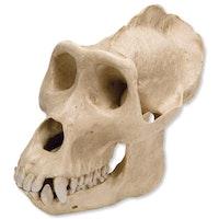 Gorillakranie (Gorilla gorilla), hannkjønn