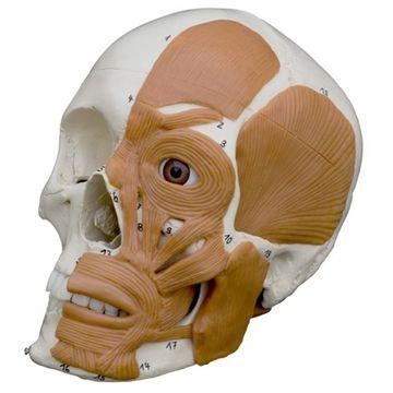Rüdiger kranie med ansigtsmuskulatur