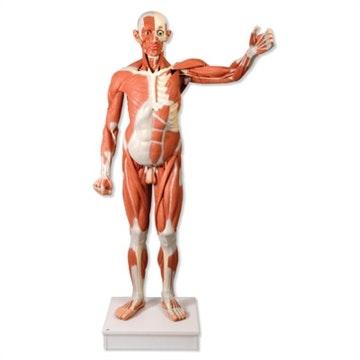 Komplet muskel- og torsomodel på 180 cm som kan adskilles i 37 dele