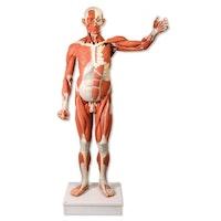 Avansert mannlig muskelfigur i normal størrelse med 37 deler