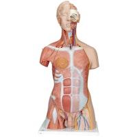 Komplett torso-modell med 30 avtagbara delar (Öppen rygg, muskler, foster, utbytbara könsdelar)