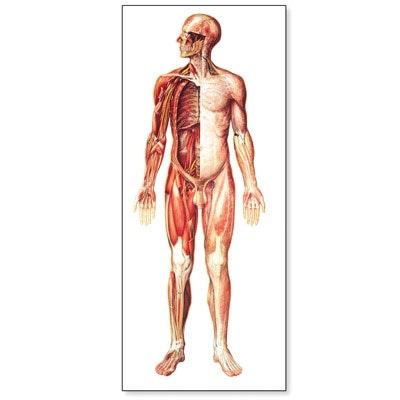 Stor nervesystemplakat med trælister
