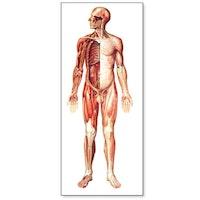 Stor plakat med en stor illustration af nervesystemet (inkl. trælister)
