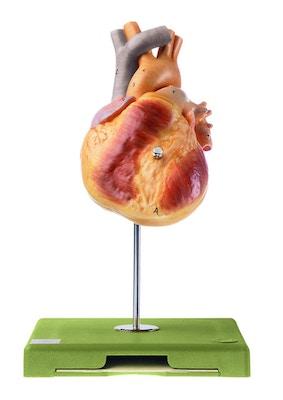SOMSO - hjertemodel