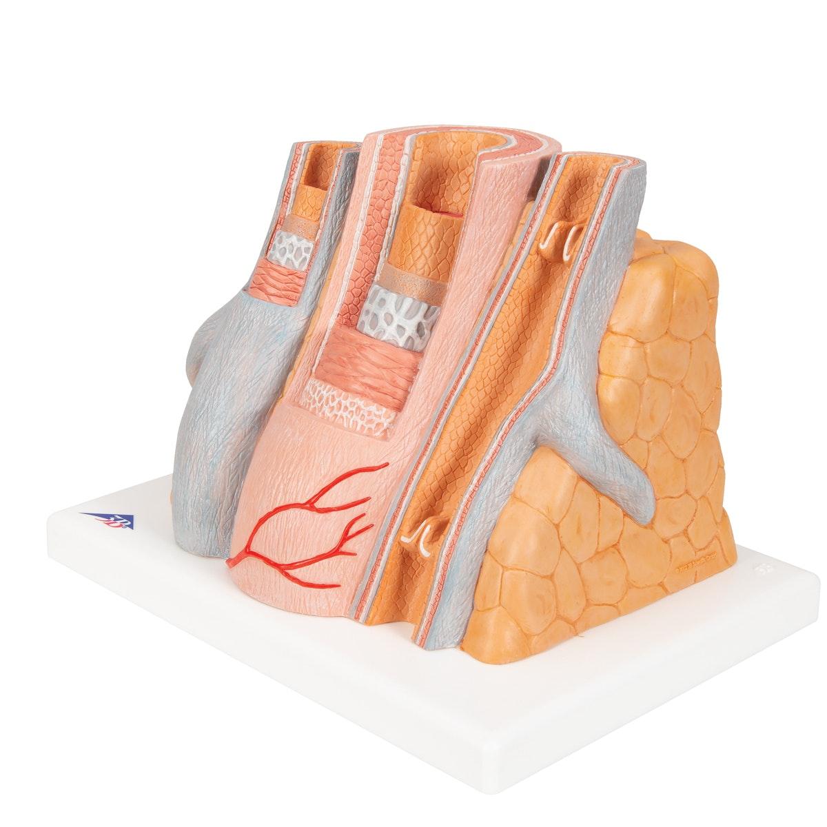 Detaljeret model af 1 arterie og 2 vener som er kraftig forstørret