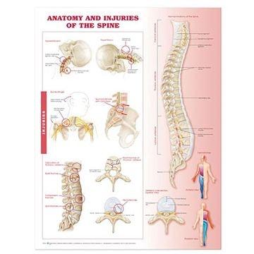 Rygplakat Anatomi & skader lamineret engelsk (Anatomy & injuries of the spine)
