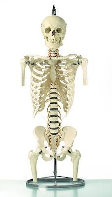 SOMSO Skeletmodel af rygsøjle med kranie, skuldre og bækken