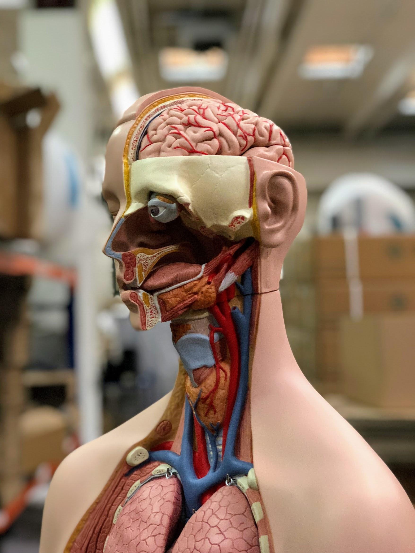 Meget detaljeret torso med 17 udtagelige dele, meget detaljeret hjerne, åben ryg og kønsløs