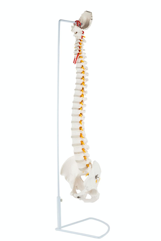 Fleksibel model af rygsøjlen med nerver og andre knogler præsenteret på stativ